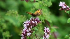 Gatekeeper Butterfly on Wild Marjoram Stock Footage