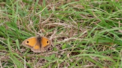 Gatekeeper Butterfly on Grass Ground Stock Footage