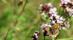 Small Copper Butterfly on Wild Marjoram Stock Footage