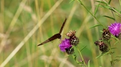 Silver Washed Fritillary on Thistle - stock footage