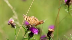 Silver Washed Fritillary Butterfly on Field Scabious Stock Footage