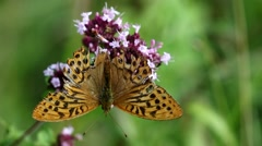 Silver Washed Fritillary on Wild Marjoram Stock Footage