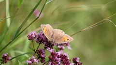 Meadow Brown on  Wild Marjoram Stock Footage