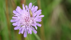 Close up of Insect on a Field Scabious Flower Stock Footage