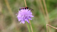 Six-spot Burnet Day Moth on Field Scabious Stock Footage