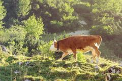 Red and white calf of Hereford breed cattle grazing Stock Photos