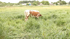 The cow grazing grass in meadow. - stock footage