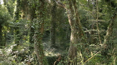 Trees twisted with lianas. Stock Footage