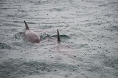 Bottlenose Dolphin Group Stock Photos