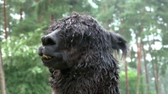 4k Black Alpaca close up portrait fascial expression Stock Footage