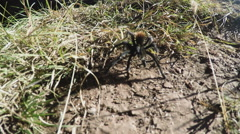 Tarantula Spider In Grass Close Up- SloMo Stock Footage
