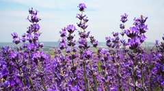 Lavender field. Growing Lavender Flower closeup with blue sky on background. Stock Footage