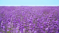 Stock Video Footage of Lavender field. Growing Lavender Flower closeup with blue sky on background.