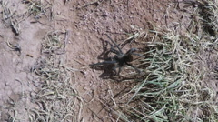 Tarantula Spider Crawling Across Ground- Looking For Mate - stock footage