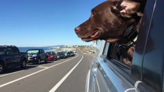 Chocolate lab watching a bike rider go by Carlsbad california Stock Footage