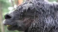Stock Video Footage of Black Alpaca close up portrait fascial expression