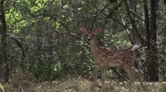 Baby deer prancing through forest - stock footage
