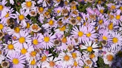 Bees in action pollen pink summer flowers Stock Footage