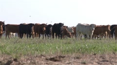 Herd of cows in a green pasture field, pan view Stock Footage