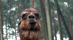 Brown Alpaca close up portrait fascial expression Stock Footage