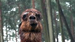 Brown Alpaca close up portrait fascial expression - stock footage