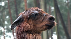 Stock Video Footage of Brown Alpaca close up portrait fascial expression