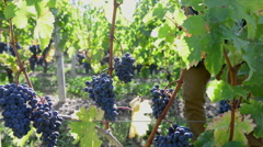 Winegrower examining the maturity of its grapes with a tablet in his vineyard Stock Footage