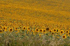 Endless field of yellow sunflowers - stock photo