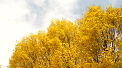 Autumn trees leaves as nature background steadicam 4K - stock footage