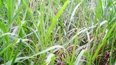 Reed grass in the wind Stock Footage