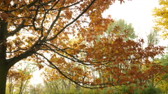 Autumn fall oak tree leaves 4K. - stock footage