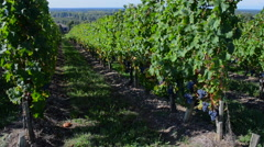 Vineyard in France rows of grapes on vines Stock Footage