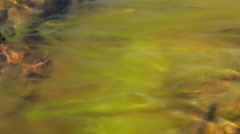 Waving Algae with the Water Stream Stock Footage