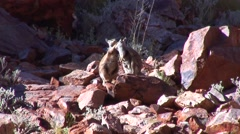 Black-footed Rock Wallaby males boxing 1 Stock Footage