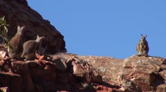 Black-footed Rock Wallaby males looking at female Stock Footage