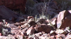 Black-footed Rock Wallaby males boxing 3 Stock Footage