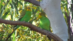 Budgerigar pair on branch courting 2 - stock footage