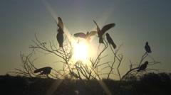 Galah flock sit in tree at sunset 1 Stock Footage