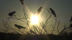 Galah flock sit in tree at sunset 2 Stock Footage