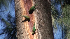 Little Lorikeet flock feeding on tree sap 1 Stock Footage