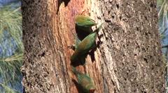 Little Lorikeet flock feeding on tree sap 4 Stock Footage