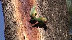 Little Lorikeet flock feeding on tree sap 5 Stock Footage