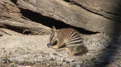 Numbat going into hollow tree trunk Stock Footage