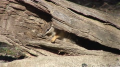 Numbat coming out of hollow tree trunk Stock Footage