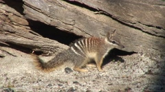 Numbat look around 3 Stock Footage