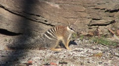 Numbat look around 5 Stock Footage