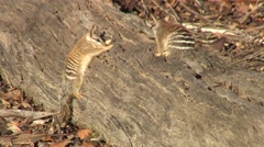Numbat looking for food in tree trunk 2 Stock Footage