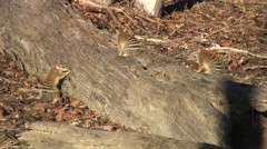Numbat looking for food in tree trunk 3 Stock Footage