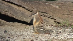 Numbat rest sitting on tail 2 Stock Footage
