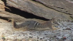 Numbat walk in forest 1 Stock Footage